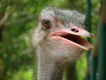 A curious ostrich. Royalty Free Stock Photo