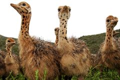 Curious Ostrich Chicks Stock Photography