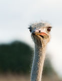 Curious ostrich closeup Royalty Free Stock Photo