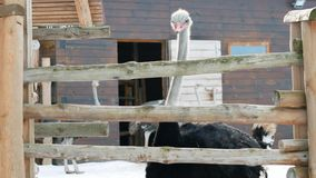 Curious ostrich on an ostrich farm. Curious ostrich walking on an ostrich farm in winter stock video footage
