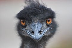 Curious ostrich with funny stare Royalty Free Stock Photography
