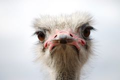 A curious ostrich head close-up view stock photography