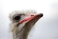 A curious ostrich head close-up view stock photo