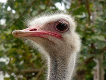 Curious ostrich head looking around Stock Images