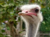 Curious ostrich head looking around Stock Photography