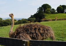 A curious ostrich royalty free stock photos