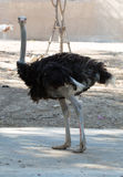 Curious ostrich Stock Image