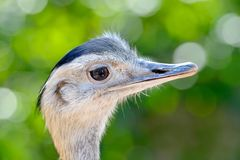 Curious ostrich portrait Stock Images