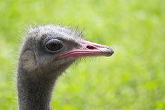 Curious ostrich portrait Royalty Free Stock Images