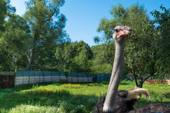 Curious ostrich portrait. Royalty Free Stock Photography