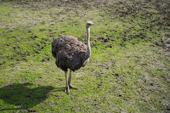 Curious Ostrich Royalty Free Stock Photo