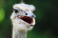 Curious about the ostrich. In the zoo, when I looked at the ostrich from the lens, it is also very curious and looked at me Royalty Free Stock Images