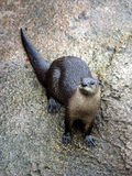 Curious Otter. Otter looking up from rock Royalty Free Stock Image