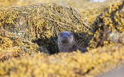 A curious Otter Lutra lutra looking out  between rocks covered in seaweed on the shoreline of the sea loch on the Isle of Mull,. A curious stunning Otter Lutra Royalty Free Stock Image