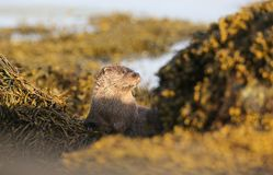 A curious Otter Lutra lutra looking out between rocks covered in seaweed on the shoreline of the sea loch on the Isle of Mull, royalty free stock photo