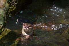 Curious otter swimming in a clean river Stock Photography