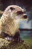 Curious otter who came to see the visitors. A curious otter who came to see the visitors royalty free stock photo