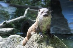 Otter who came to see the visitors. A curious otter who came to see the visitors stock photos