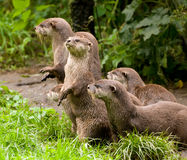 Curious Otters Royalty Free Stock Photos