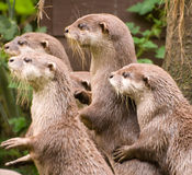 Curious Otters Royalty Free Stock Images