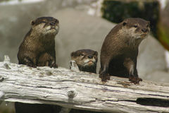 Curious Otters. A group of otters watching curiously Royalty Free Stock Image