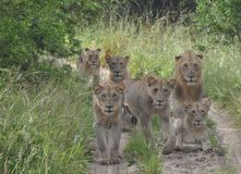 A pride of lions on the move stock image