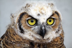 Curious Owl. Closeup of a juvenile Great Horned Owl Royalty Free Stock Image