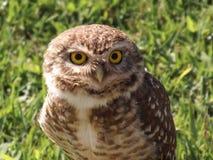 Curious Owl Stock Photo