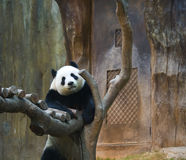 Curious Panda. A panda getting a better view of the commotion Stock Photo
