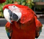 Free Curious Parrot Stock Photos - 16084783