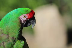 Curious Parrot Royalty Free Stock Image
