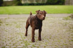 Curious Patterdale Terrier. Pet patterdale terrier dog standning outdoors. It is staring with curiosity and standing at alertness stock photos