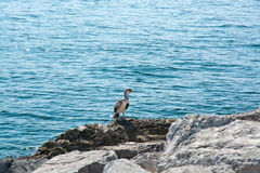 Curious pelican chick Stock Photo