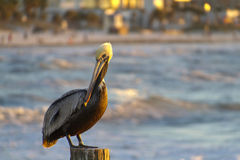 Curious Pelican On the Gulf Of Mexico Royalty Free Stock Photo