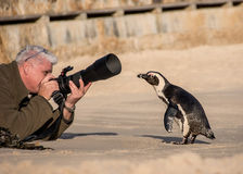 Curious Penguin Stock Photos