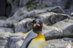 A curious Penguin see photographer Royalty Free Stock Photos