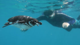 Curious Penguin and Snorkeler. Snorkeling with a curious Galapagos Penguin Royalty Free Stock Images