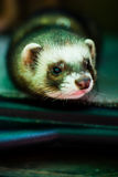 Curious pet ferret Royalty Free Stock Images