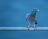 Curious Pidgeon With Copy Space Stock Photography