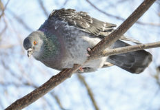 A curious pidgeon. Sitting on a branch Stock Photos