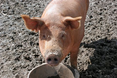 Curious Pig. A pig looking up at you Royalty Free Stock Photography