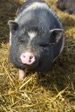 Curious pig Stock Photo