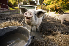 Curious Pig. A curious pig at a watering bowl royalty free stock images
