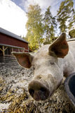 Curious Pig. A curious pig in a pen royalty free stock images