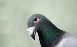 Curious pigeon Royalty Free Stock Images