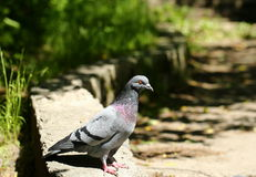 Curious pigeon Royalty Free Stock Photography