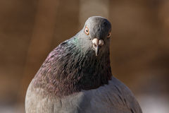 Curious pigeon looking at the camera closeup Royalty Free Stock Image