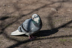 Curious pigeon Stock Images