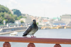 Curious pigeon. Standing on the bridge`s fence and watchiing carefully Stock Photos