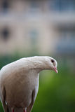 Curious pigeon. White pigeon on the balcony Royalty Free Stock Photos
